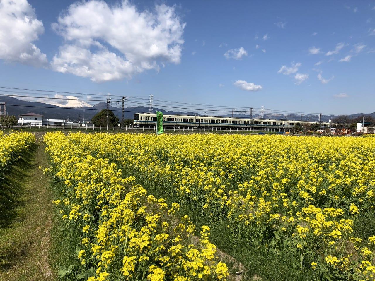 東栢山菜の花2020