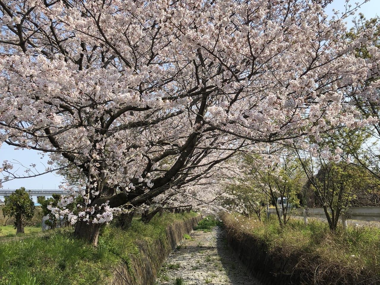 小田原桜まつり2020