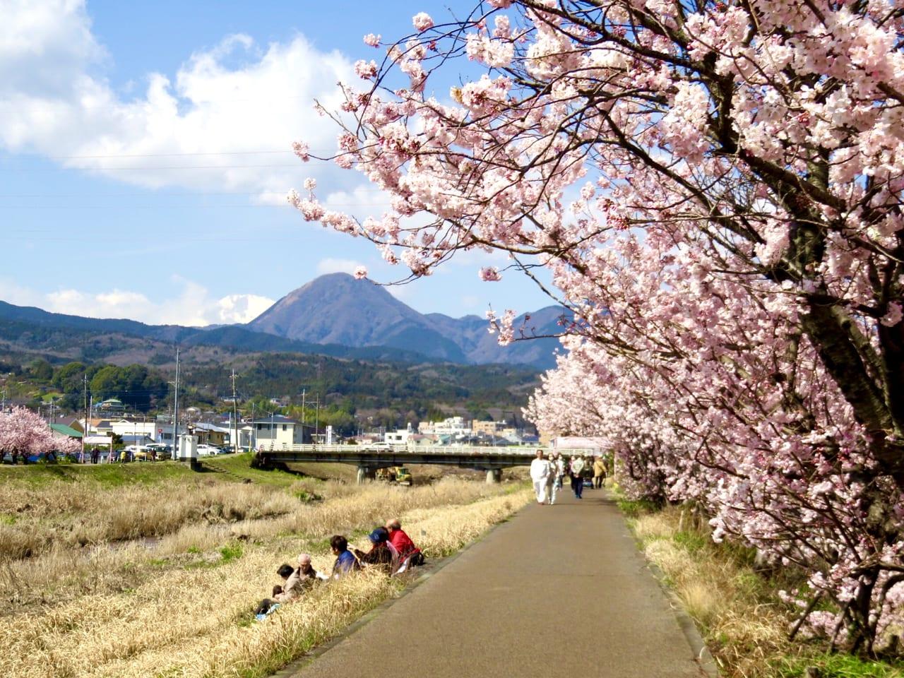 南足柄桜まつり2020