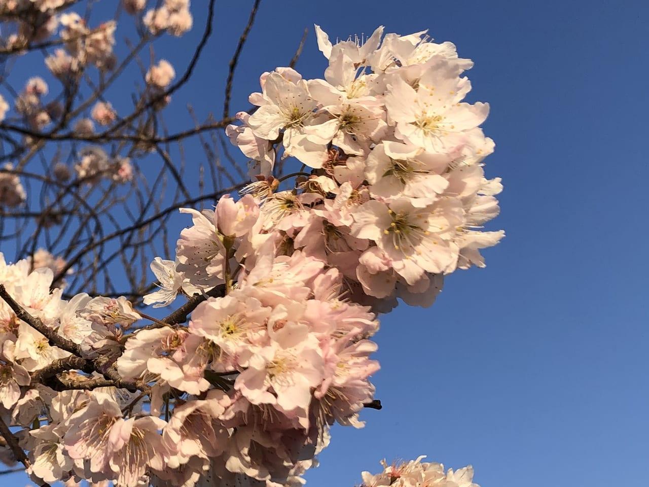 南足柄春めき桜2020